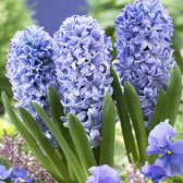 Top Size Hyacinth 17/18cm Bulbs