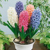 Prepared Hyacinth (Indoor Flowering)