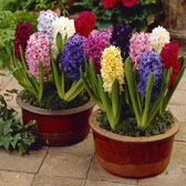 Fragrant Hyacinth Bulbs A-Z