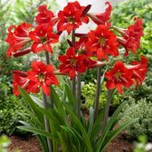 Amaryllis Sonatini (Outdoor Flowering)