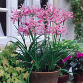 Nerine Bulbs