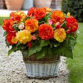 Web Exclusive Begonias