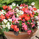 Begonias Supplied As Plants