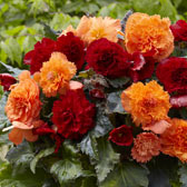 Fancy Frills Begonias (Fimbriata)