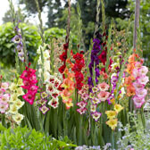 Gladioli Bulbs/Corms