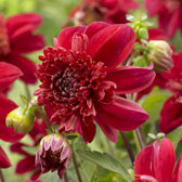 Anemone Flowering Dahlias
