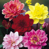 Water Lily Dahlias