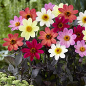 Dahlia Plants (Supplied as Plug Plants)