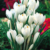 Large Flowering Crocus (Crocus vernus)