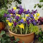 Iris Spring and Summer Flowering Bulbs