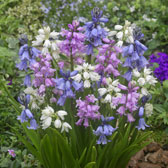 Autumn/Spring Flowering Bulbs A-Z