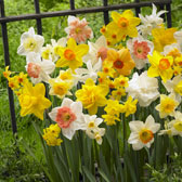Daffodil and Narcissi A-Z