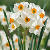 Multi-headed & Triandrus Narcissi