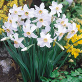 Tall Daffodils & Narcissi