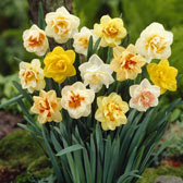 Daffodil and Narcissi Mixtures