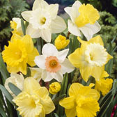 Daffodil and Narcissi Collections