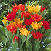 Multi-Headed and Praestans Tulips