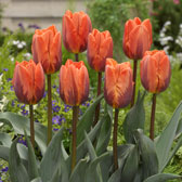 Single Early Tulips