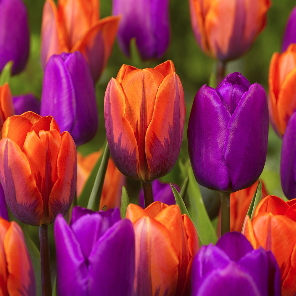 Tulip Collections and Companions