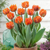 Web Exclusive Tulips