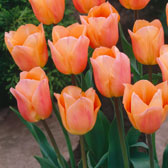 RHS Award Winning Tulips