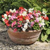 Begonias Supplied in Trays