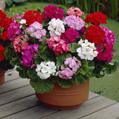 1. Geranium F1 Plants in Trays