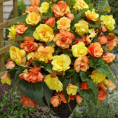 Begonia Illuminations Apricot Shades in Trays