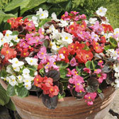 Begonia semperflorens in Trays