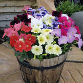 7. Petunia Mixed in Trays