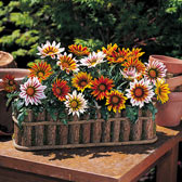 8. Gazania Daybreak Mixed in Trays