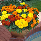 Marigolds in Trays