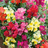 10. Antirrhinum Mixed in Trays