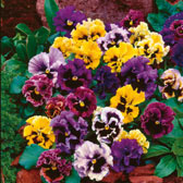 Pansies Mixed in Trays