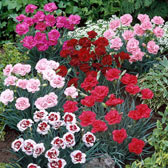 Dianthus (Pinks) A-Z