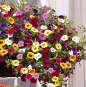 Trailing Calibrachoa