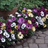 Other Summer Bedding/Basket Plants