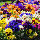 Summer Bedding and Basket Plants  A-Z