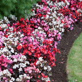 Begonia Bedding/Basket A-Z
