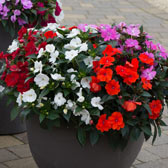Busy Lizzies/Impatiens A-Z