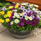 Osteospermum and Sunbrella