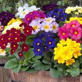 Winter Bedding and Basket Plants