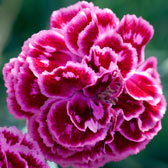 Traditional Dianthus (Pinks)