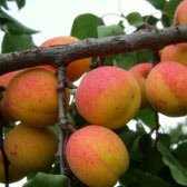 Other Fruit Trees