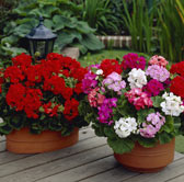 Geraniums Supplied in Trays