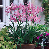 Nerines (Guernsey Lilies)