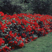 Hedging Roses