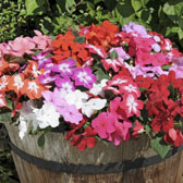 Impatiens (Busy Lizzie)