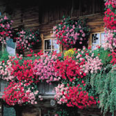Geraniums (Trailing)