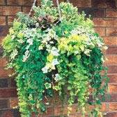 Other Trailing and Basket Plants